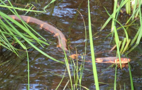 The water snake considerately posing for the camera.