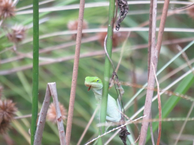 Anole.