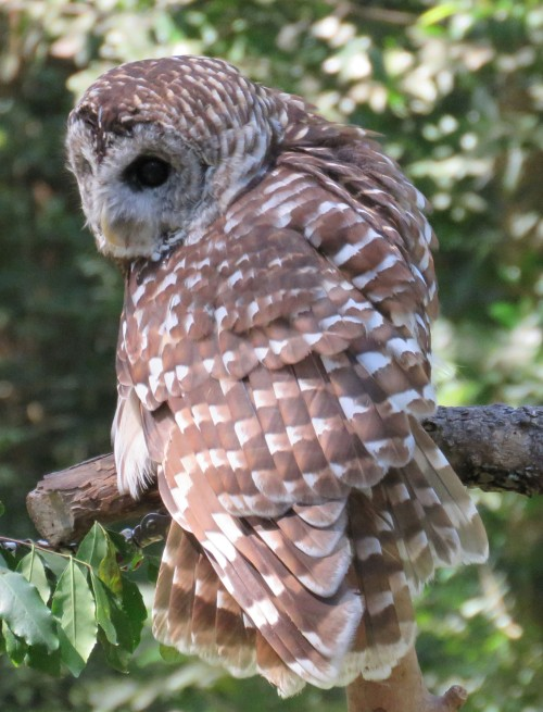 Barred Owl, rescued but having to live out her life in captivity.