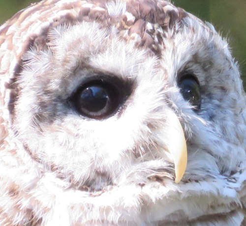 Barred Owl close-up.