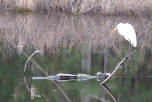This is not the best picture, but I couldn't leave it out. This is a Great Egret on 1/2//2014.