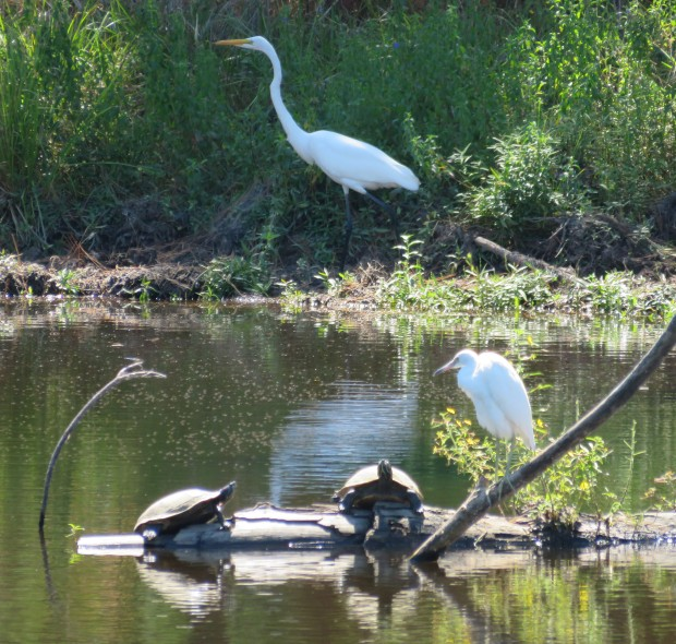 Stately Great Egret passes behind immature Little Blue Heron and some Red-eared Sliders.