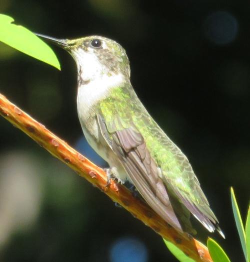 Ruby-throated Hummingbird sub-adult.