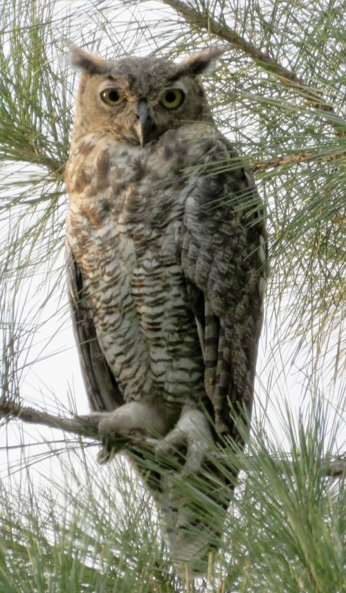One of a pair of Great Horned Owls that live in our area.