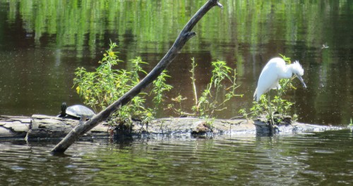 Juvenile Little Blue Heron, 1 PM on 9/7/15.