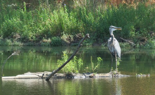 Great Blue Heron, 3 PM on 9/7/15.