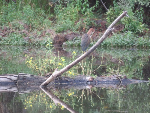 A Green Heron landed on the same fallen tree all the other water birds like.