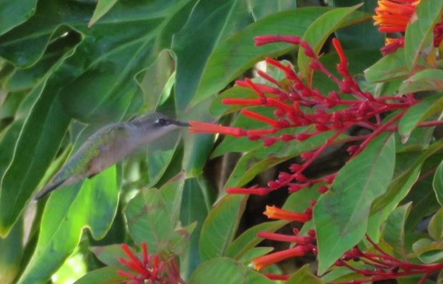 Ruby-throated hummingbird female with hummingbird bush, Hamelia patens.