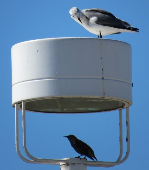 Gull and starling, at home in a parking lot light fixture.