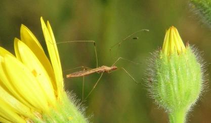Stilt Bug.
