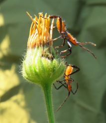 Leaf-footed Bug nymphs.