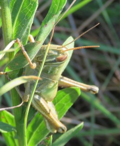 I don't know my grasshopper species. Yet.