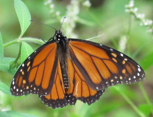 Monarch on honeyvine and/or swamp smartweed.