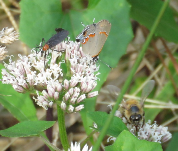 Red-banded Hairstreak butterfly, lovebugs, and American Bumblebee.