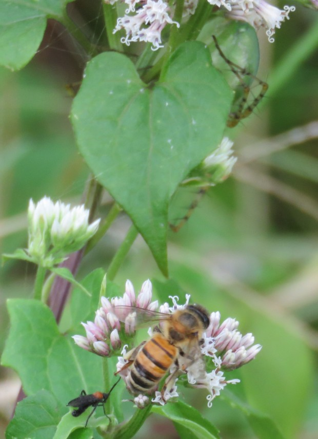 Honeybee and lovebugs - and do you see the lynx spider lurking behind the leaf?