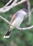 e kingbird