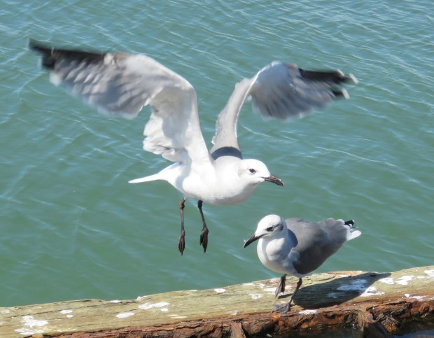 Laughing gulls.