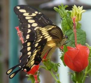 Giant Swallowtail - black with huge yellow dots.