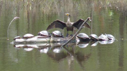 A cormorant and turtles. This picture always reminds me of a choir leader in big robes, with a group of choristers.