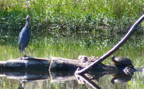 This Little Blue Heron visited on 5/7/2013..