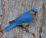 e bluebird