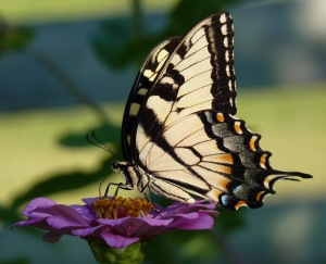 Tiger Swallowtail - pale yellow with black stripes.
