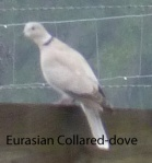 Eurasian