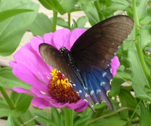Same butterfly as the Pipevine above - wings at a different angle show the blue more faintly.