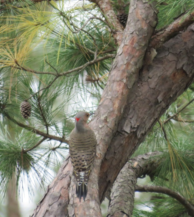Northern Flicker on pine.