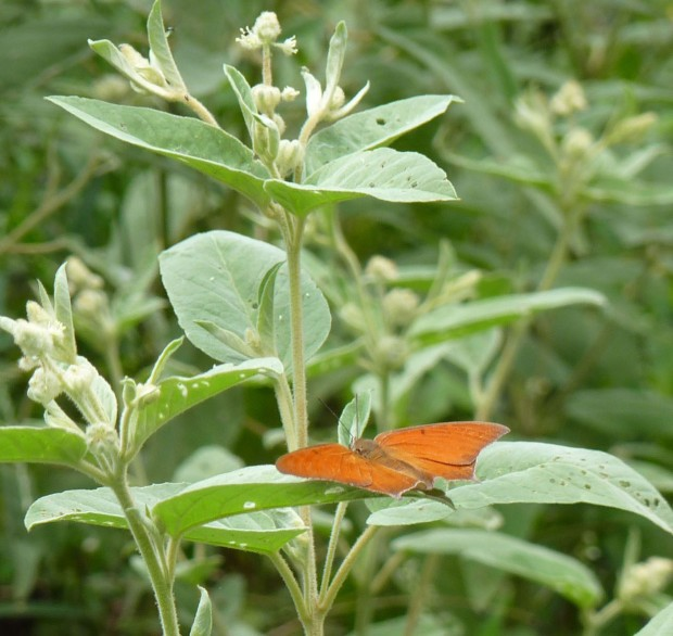 One person's weed is another creature's host plant.  This is goatweed (croton) and a Goatweed Leafwing butterfly.