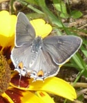 gray hairstreak dorsal
