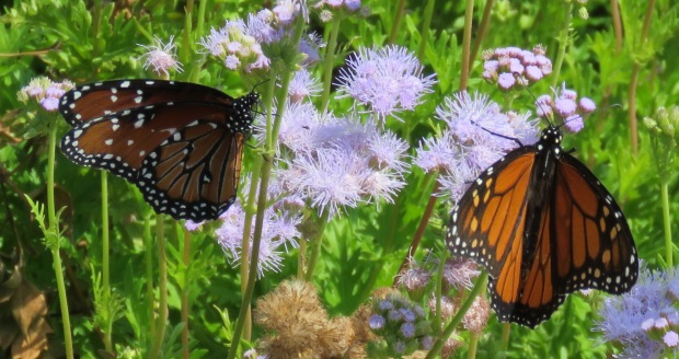 Queen butterfly on left, Monarch on the right.