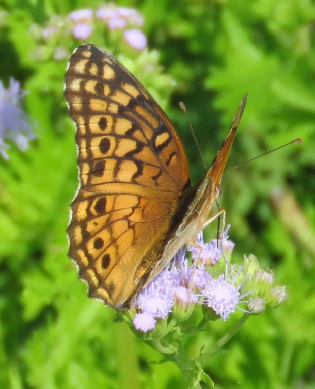 Variegated Fritillary, Euptoita claudia, dorsal view.