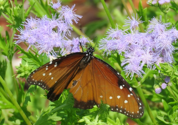 With wings open, the Queen is easy to distinguish from the Monarch.