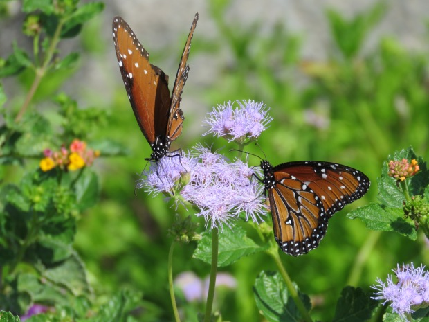 Two Queens, Danaus gilippus.
