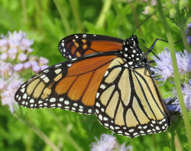 Monarch, Danaus plexippus.
