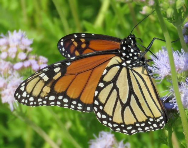 Monarch, Danaus plexippus.