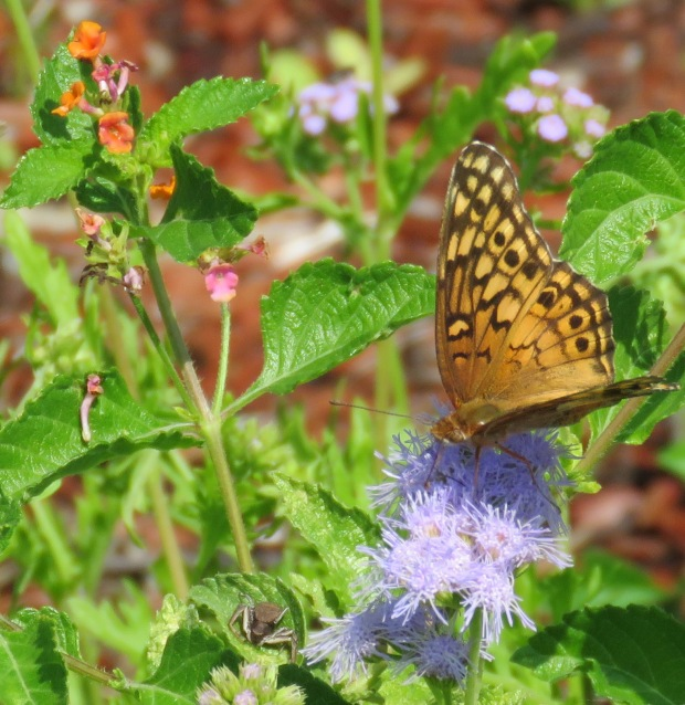 Variegated Fritillary on ageratum.