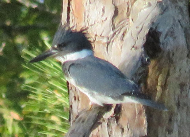 Belted Kingfisher male, Ceryle alcyon