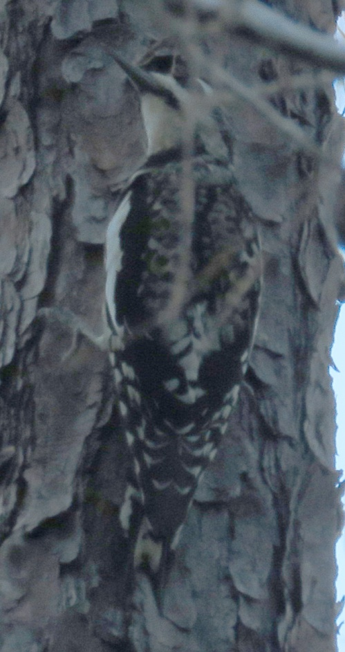 Yellow-bellied Sapsucker with a slightly blurry head.