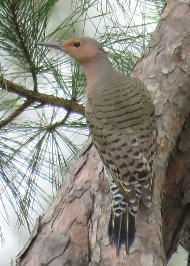 Northern Flicker, yellow-shafted female, Colaptes auratus