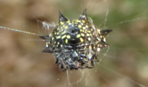 Different spider, different pattern - still scary!