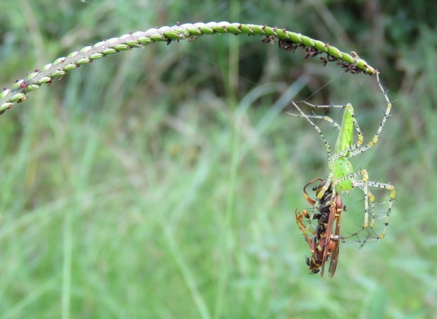 Green Lynx (Peucetia viridens) and Paper Wasp (Polistes exclamans).