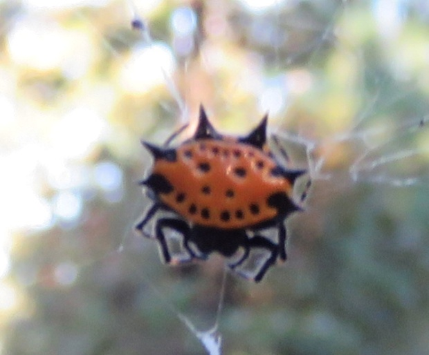 "One of the common names of this spider is ""smiley face spider""!"