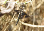 mantled baskettail