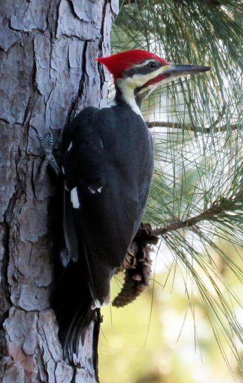 Pileated Woodpecker, Dryocopus pileatus.