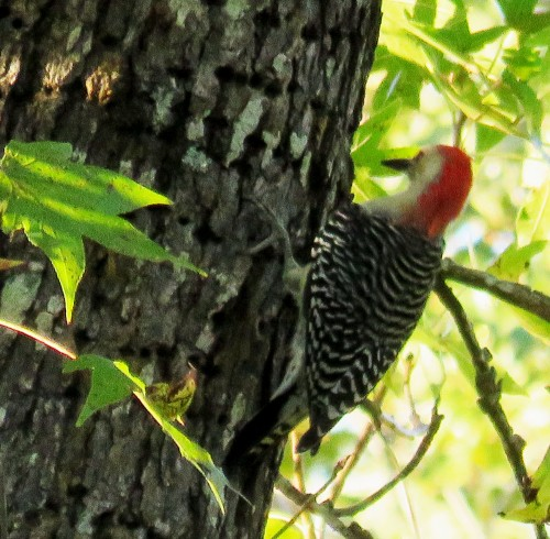 Red-bellied Woodpecker, Melanerpes carolinus.