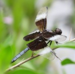 Widow Skimmer male