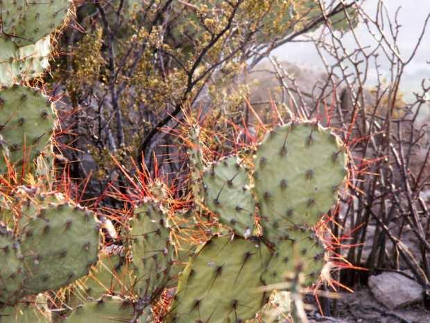 Prickly Pear, Opuntia engelmannii