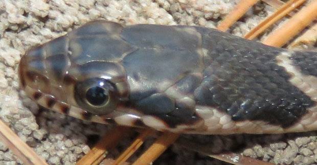 Close-up of its head.  Now those are some nice big round pupils.